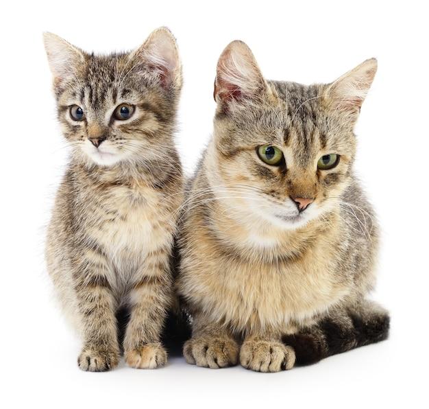 Dwa brązowe koty na białym tle.
