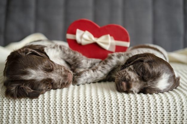 Dwa brązowy rosyjski spaniel pies leżący na kanapie z pudełkiem prezentowym serca. walentynki. leżąc na kanapie. różne kolory oczu.