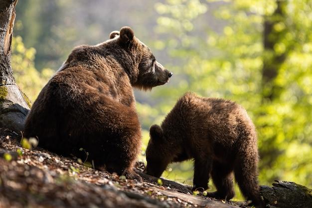 Dwa brown niedźwiedź pasa w lesie