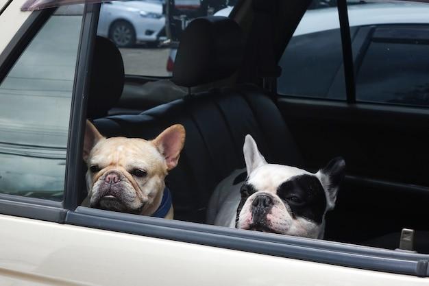 Dwa buldogi francuskie czekają w samochodzie, psy podróżują