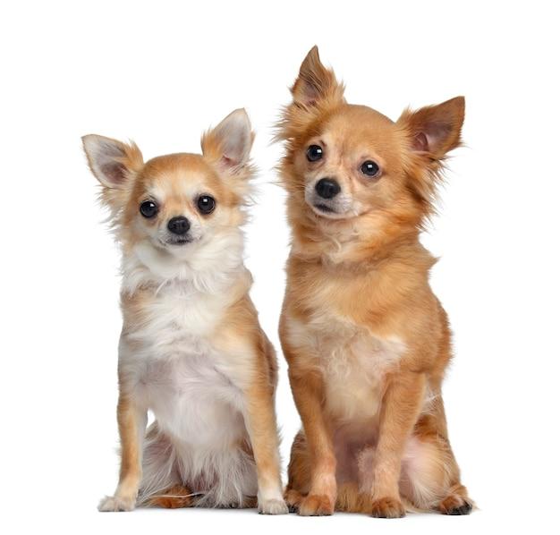 Dwa chihuahua, siedzące obok siebie, ja