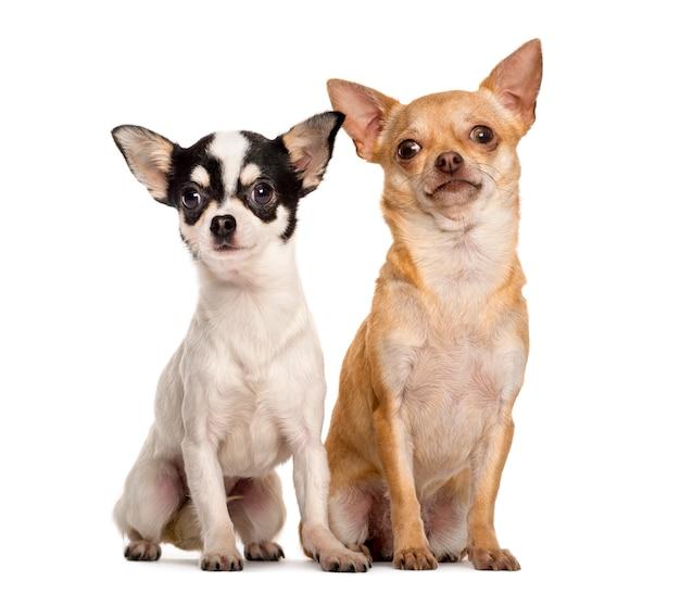 Dwa chihuahua siedzi przed białą ścianą