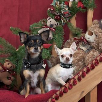 Dwa chihuahua siedzi, w ozdoby świąteczne