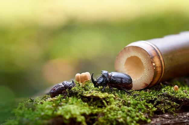 Dwa chrząszcze nosorożce chłopiec i dziewczynka na mchu
