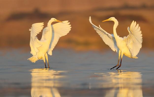 Dwa czapla biała lądująca na wodzie wczesnym rankiem. niezwykła perspektywa i delikatne poranne światło.