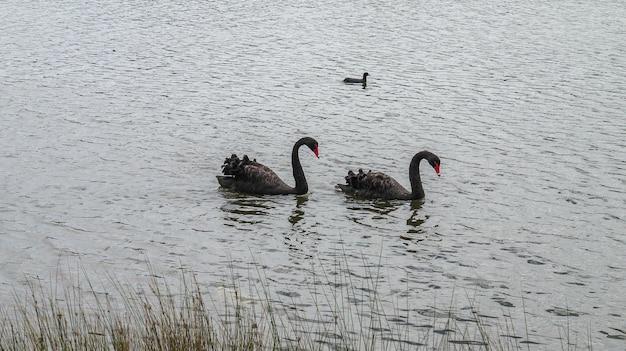 Dwa czarne łabędzie pływające po stawie.