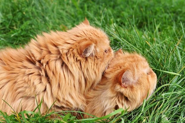 Dwa czerwone śmieszne perskie koty leżą w zielonej trawie