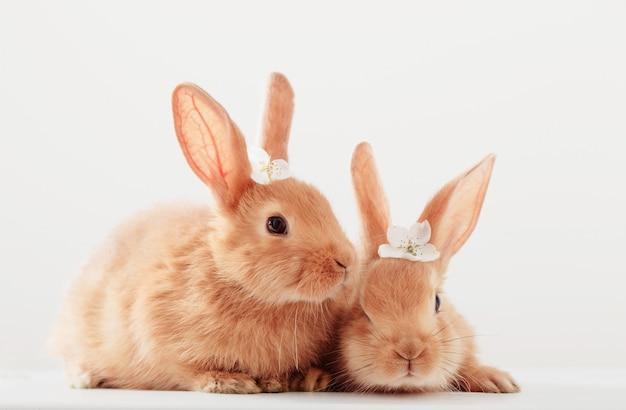 Dwa czerwonego królika na białym tle