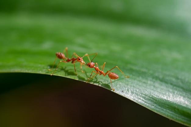 Dwa czerwonej mrówki na zielonym liściu