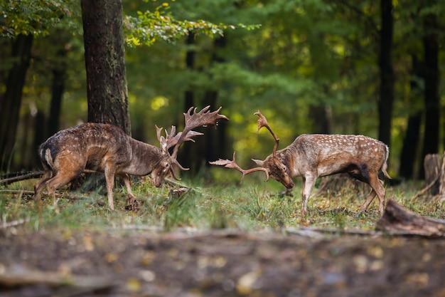 Dwa danieli walczących przeciwko sobie w lesie z copyspace.