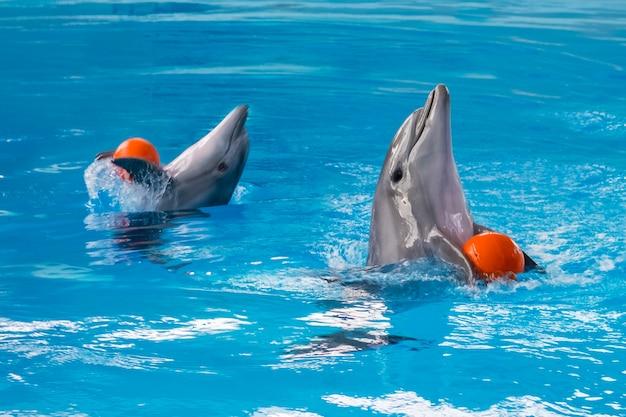 Dwa delfiny bawią się pomarańczową piłką w basenie. niewyraźne tło.