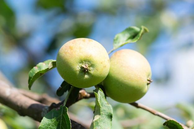 Dwa dojrzałe soczyste zielone jabłka na jednej gałęzi wczesnym rankiem