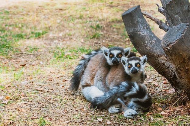 Dwa dorosłe futrzane lemury przytulają się w zoo