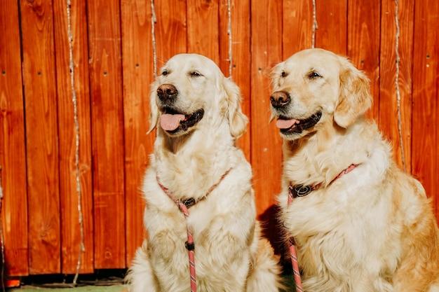 Dwa dorosłe golden retrievery na tle rustykalnego ogrodzenia