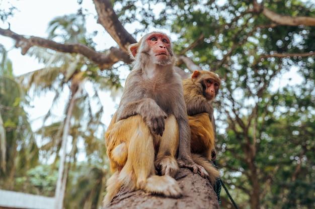 Dwa dorosłej czerwonej twarzy małpy rhesus makaka w tropikalnym natura parku hainan, chiny. bezczelna małpa w naturalnym lesie. przyrody scena z niebezpieczeństwa zwierzęciem. macaca mulatta.