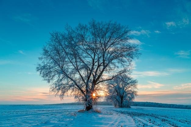 Dwa drzewa w polu zimą. mroźny świt