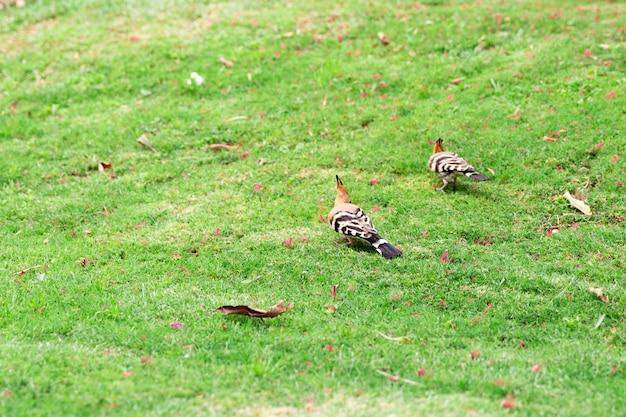 Dwa dudka ptasi obsiadanie na zielonej trawy zakończeniu