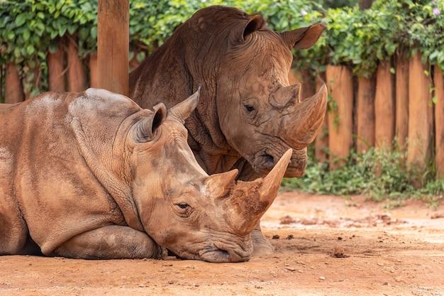Dwa duże nosorożce w zoo