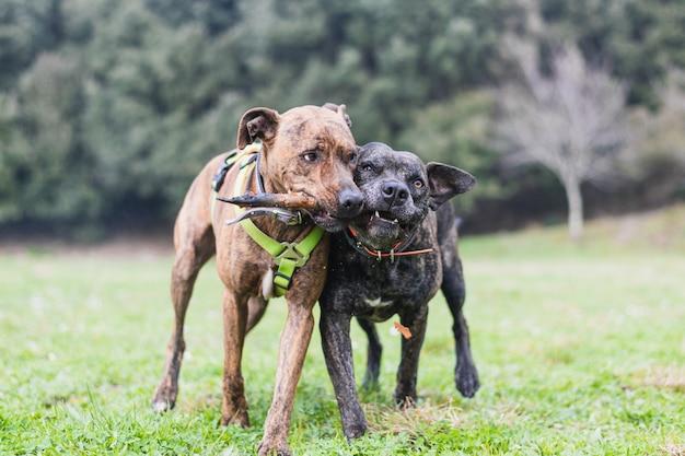 Dwa duże psy bawiące się kijem