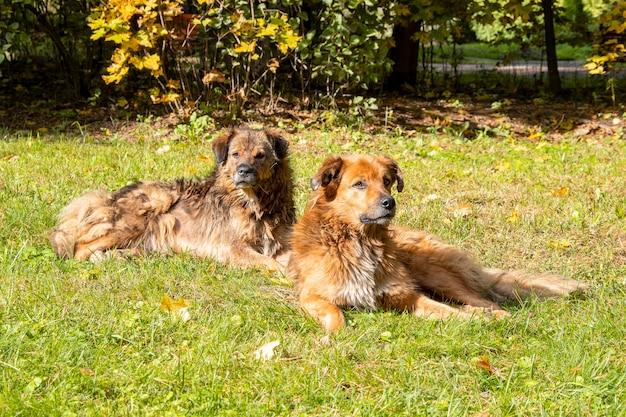 Dwa duże psy na trawie, psy o brązowym, czerwonym futerku leżące w parku miejskim, psiak lub cur dog