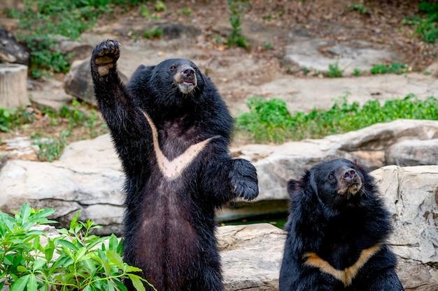 Dwa duży niedźwiedź stoi na kamiennych i zamazanych wzgórzach dryluje tło