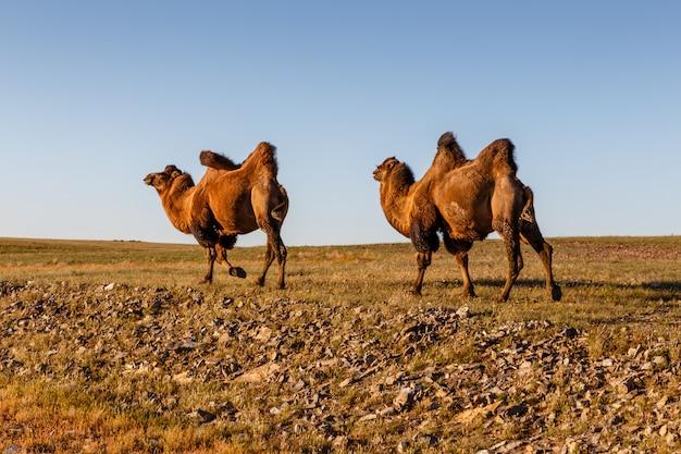 Dwa dwugarbne wielbłądy
