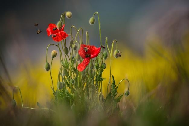 Dwa dziki czerwony mak i kilka pszczół, które zbierają pyłek i wyciągają nektar