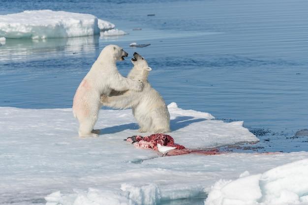 Dwa dzikie niedźwiedzie polarne jedzące zabite foki na lodzie stada na północ od wyspy spitsbergen, svalbard