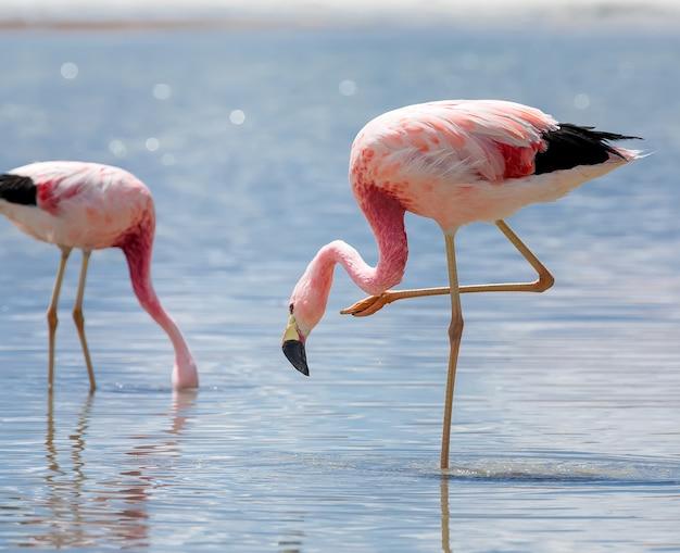 Dwa dzikie różowe flamingi andyjskie i słone jezioro w lagunie hedionda. boliwia, ameryka południowa