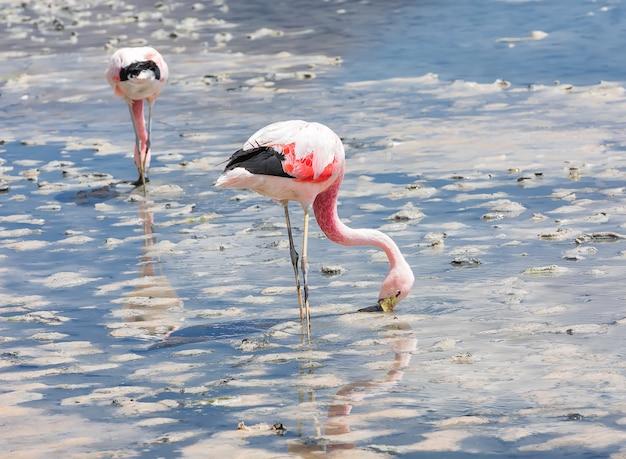 Dwa dzikie różowe flamingi andyjskie w lagunie hedionda. boliwia, ameryka południowa