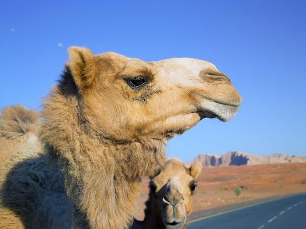Dwa dzikie wielbłądy spacerują pustynną drogą?