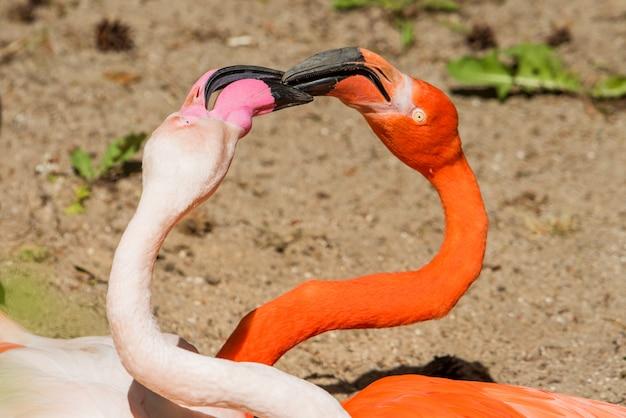 Dwa flamingi w naturze