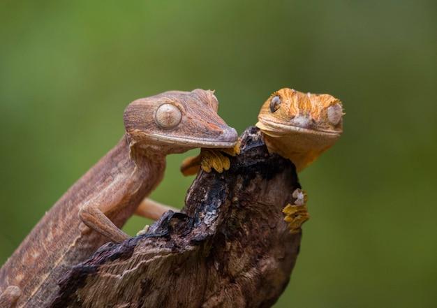 Dwa gekony ogoniaste siedzą na gałęzi. madagaskar.