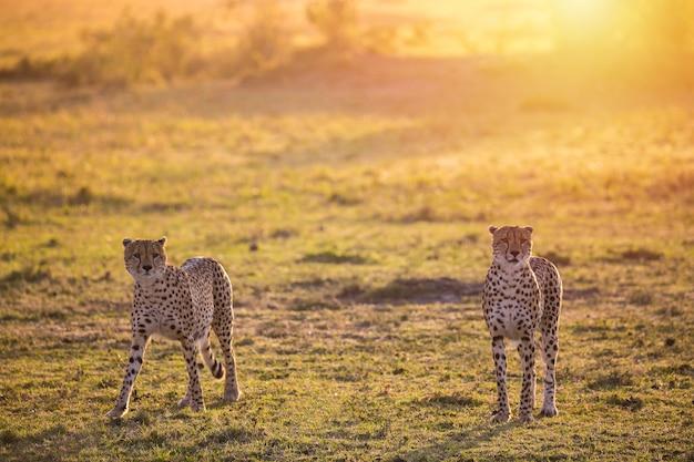 Dwa geparda chodzi w masai mara parku narodowym podczas wschodu słońca. safari w kenii.