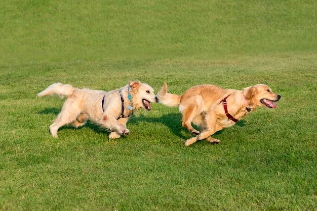 Dwa golden retriever biega na trawie