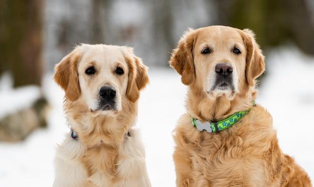 Dwa golden retrievery siedzące i patrzące w kamerę zimą portret psich przyjaciół...