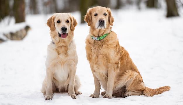Dwa golden retrievery siedzące na śniegu i patrzące w kamerę zimą portret d...