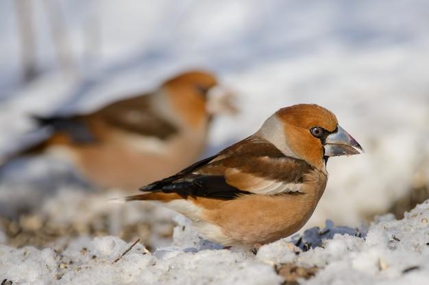 Dwa grubodziób na śniegu
