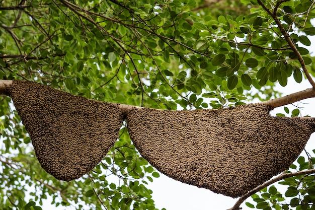 Dwa honeycomb na drzewie