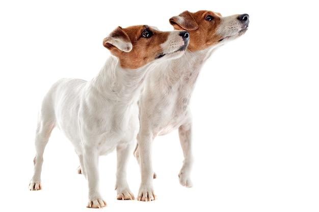Dwa jack russel terrier