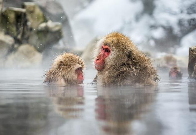 Dwa japońskie makaki siedzą w wodzie w gorącym źródle. japonia. nagano. jigokudani monkey park.
