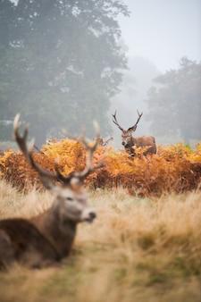 Dwa jelenie z pięknymi rogami w mglistej dolinie