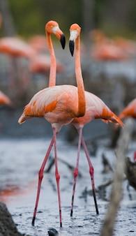 Dwa karaibskie flamingi bawiące się ze sobą