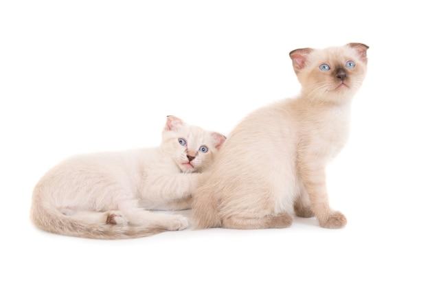 Dwa kociaki czystej krwi leżące na białym tle. zdjęcia studyjne