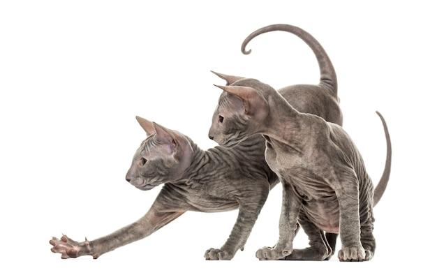 Dwa kociaki peterbald, na białym tle