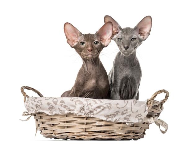 Dwa kociaki peterbald siedzi w wiklinowym koszu