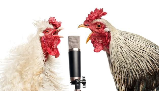 Dwa koguty śpiewają do mikrofonu, na białym tle