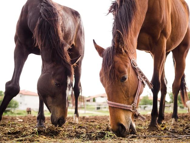 Dwa konie jedzą z ziemi