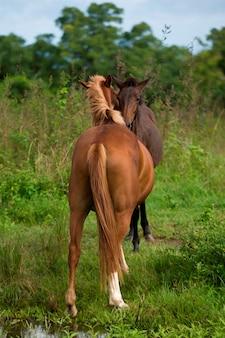 Dwa konie w polu, wyspa santa cruz, wyspy galapagos, ekwador