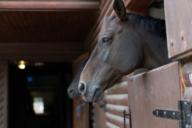 Dwa konie zaglądają przez okno do stajni z drewnianymi drzwiami czekając na przejażdżkę regularny poranny trening